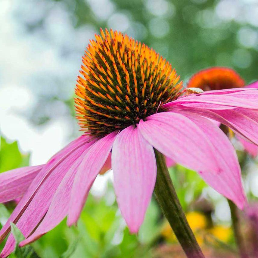Allergien TCM Heilpflanzen Echinacea