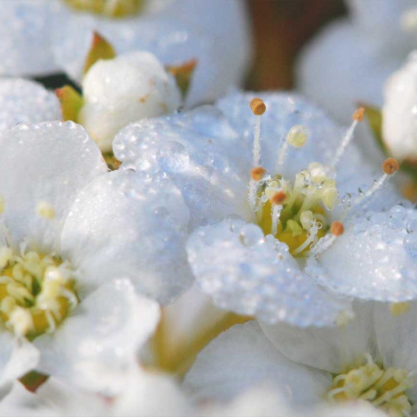 Allergien TCM Heilpflanzen Schlehe