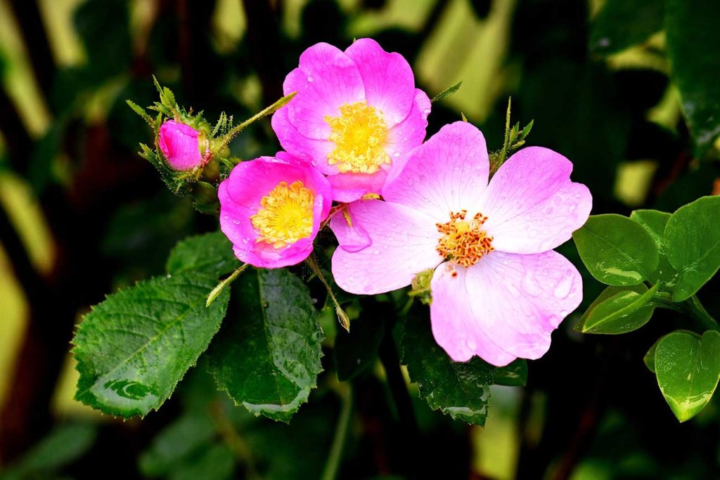 Frauengesundheit TCM Heilpflanzen Wildrose