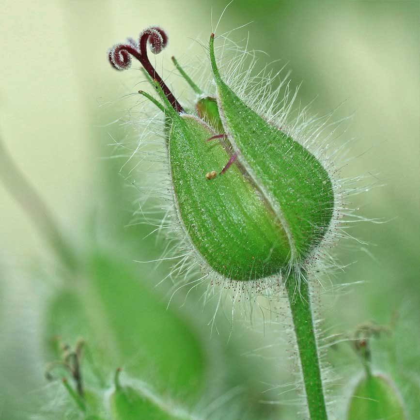 Kinderwunsch TCM Heilpflanzen Storchenschnabel