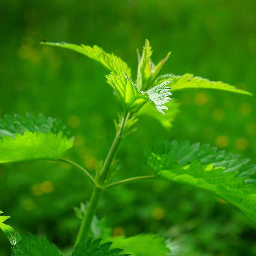 Rücken- und Gelenkschmerzen TCM Heilpflanzen Brennessel