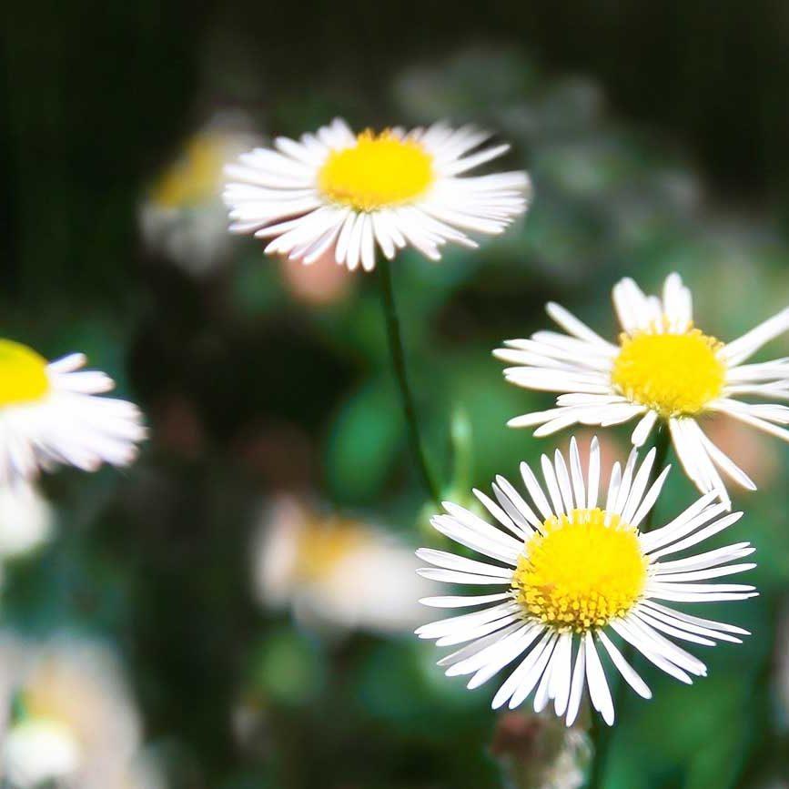 Rücken- und Gelenkschmerzen TCM Heilpflanzen Gänseblümchen