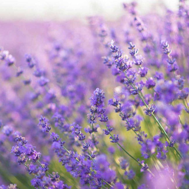 Rücken- und Gelenkschmerzen TCM Heilpflanzen Lavendel
