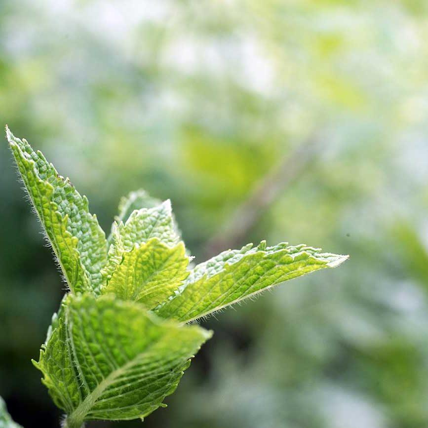 Rücken- und Gelenkschmerzen TCM Heilpflanzen Minze